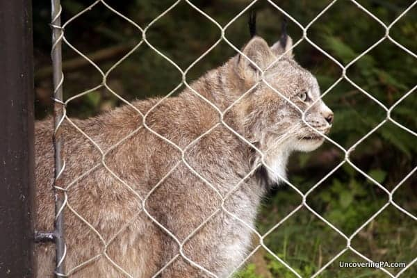 A Canadian Lynx patrols its cage at ZooAmerica in Hershey.