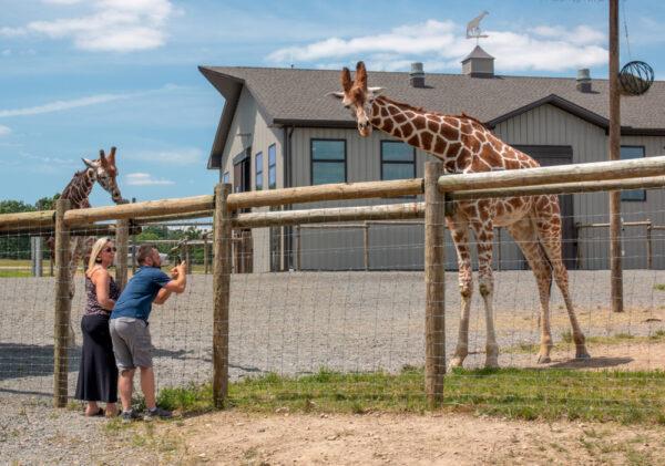 Giraffes at Lake Tobias Wildlife Park in Halifax, PA