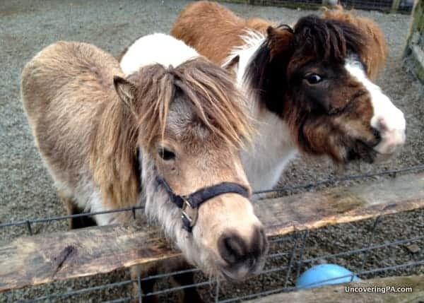 Two ponies at Living Treasures Wild Animal Park in Westmoreland County.