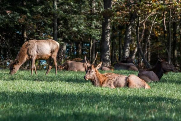 Elk at the Elk Country Visitor Center in Benezette, Pennsylvania