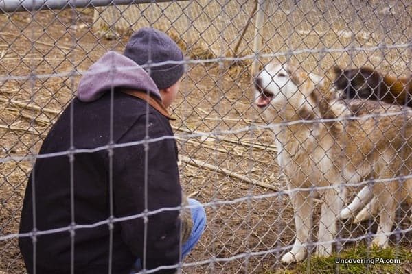 The Wolf Sanctuary of PA in Lancaster County, Pennsylvania.