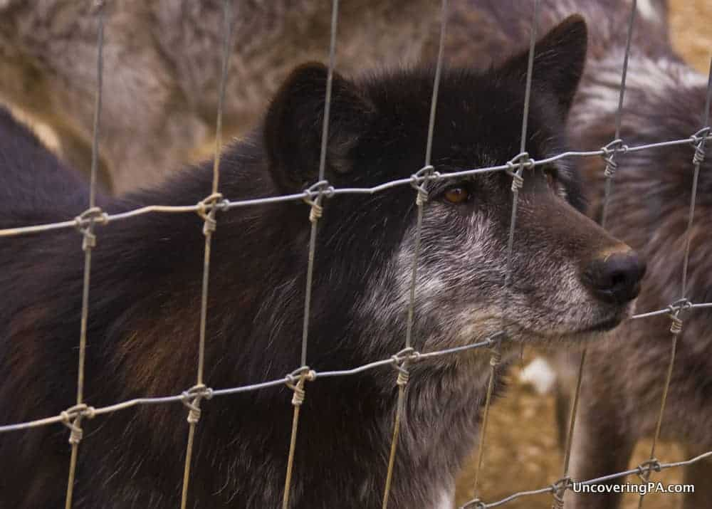 A wolf stares through the fence at the Wolf Sanctuary of PA in Lititz, Pennsylvania.