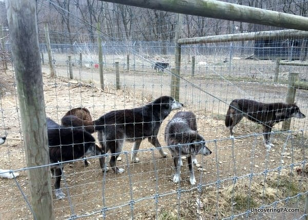 Wolves at the Wolf Sanctuary of PA.