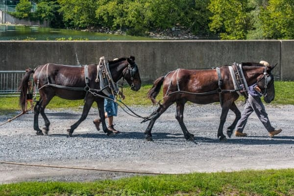 Mules at the National Canal Museum in Easton, PA.