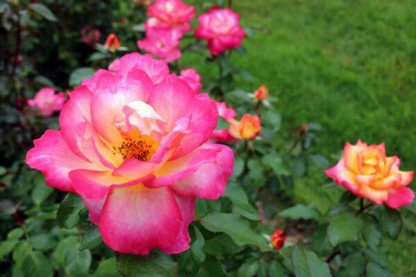 Roses at Hershey Gardens