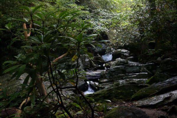 Rhododendrons in Tucquan Glen Nature Preserve