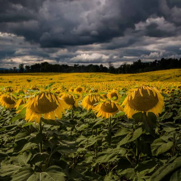 Top Pennsylvania Photos of 2017: Sunflower Field in Chambersburg