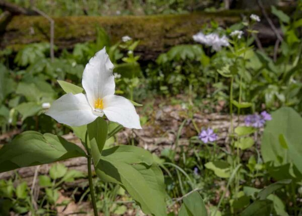 Trillium at the Wildflower Reserve at Raccoon Creek State Park