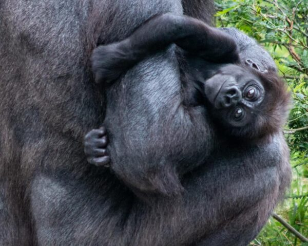 Baby Gorilla at the Pittsburgh Zoo and PPG Aquarium