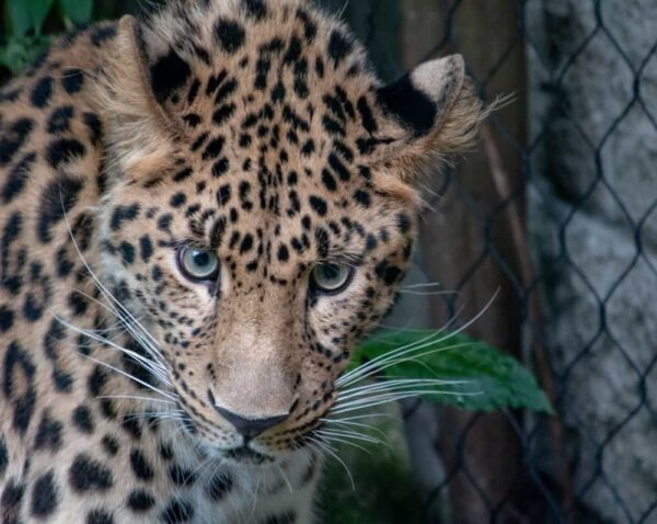Best photos of PA: Leopard in the Pittsburgh Zoo