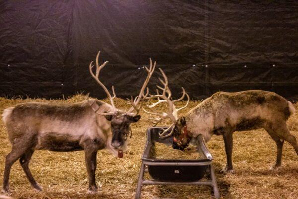 Reindeer at Hersheypark Christmas Candylane
