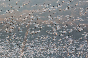 Tips for Seeing PA's Middle Creek Snow Geese Migration