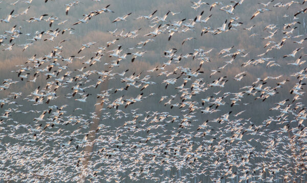 Middle Creek Snow Geese Migration