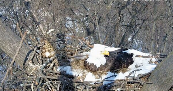 Eagles Nest York Pa >> 11 Live-Streaming Wildlife Cameras in PA that Are Worth ...
