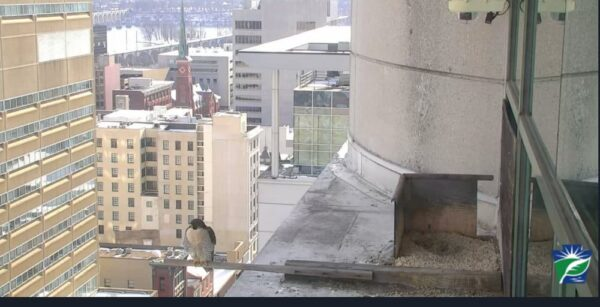 PA Falcon Cam in downtown Harrisburg, Pennsylvania