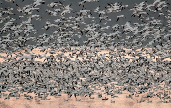 How many snow geese at Middle Creek Wildlife Management Area