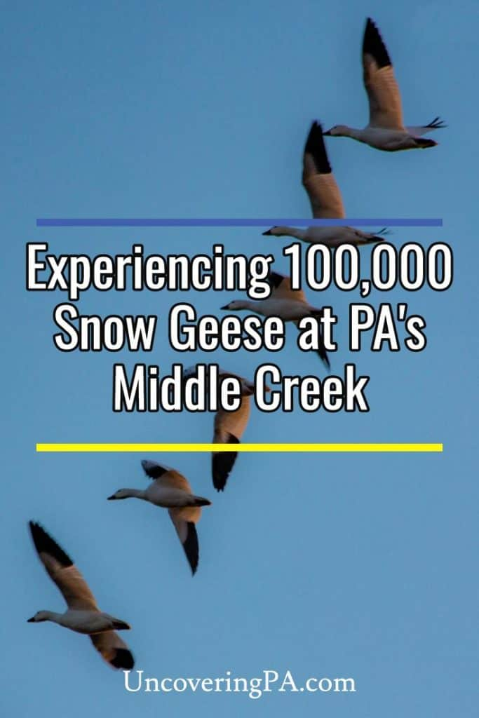 Snow Geese migration at Middle Creek Wildlife Management Area in Lancaster County, Pennsylvania