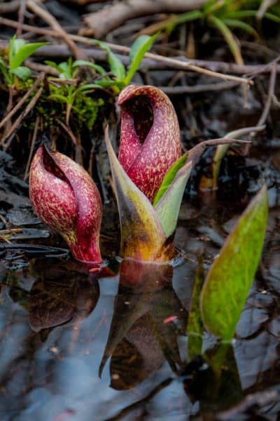 Skunk cabbage in Black Moshannon State Park