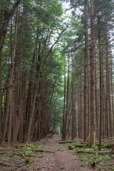 Black Bear Trail in Cook Forest State Park