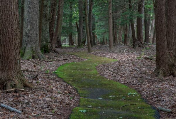 Moss covered trail in the Forest Cathedral at Cook Forest State Park