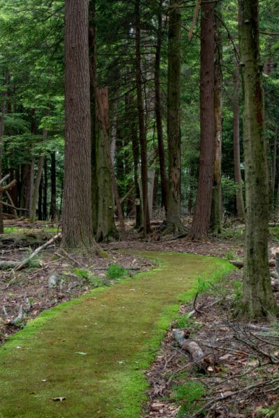 Paved Trail in the Forest Cathedral at Cook Forest State Park