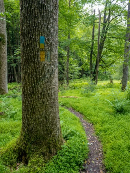 North Country Trail through Cook Forest State Park in Pennsylvania