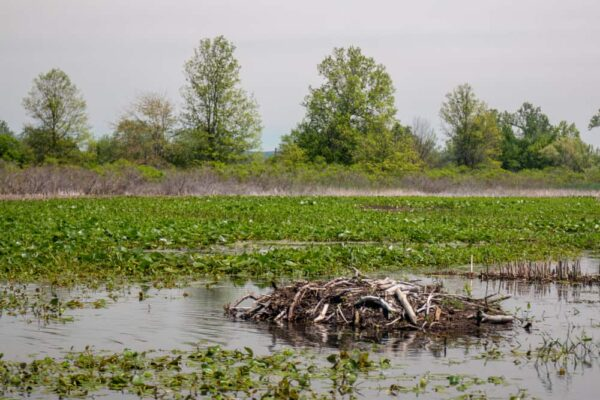 Beaver Dam on the ponds at Presque Isle in Erie, Pennsylvania