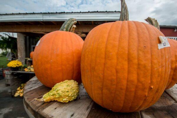 Pumpkin picking in PA