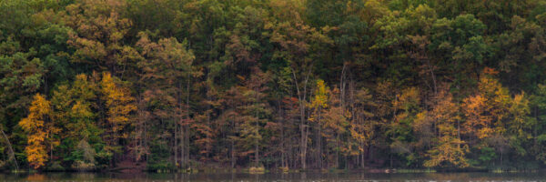 Panoramic of autumn trees in Locust Lake State Park in Schuylkill County PA