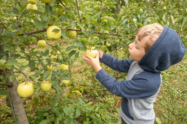 Boy apple picking at Paulu's Orchard in Dillsburg Pennsylvania