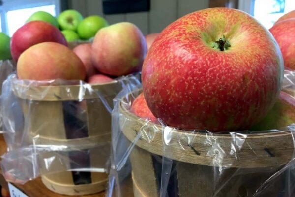 PA apples in bins