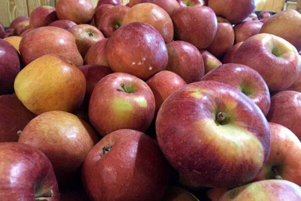 Apples in a bin in Pennsylvania