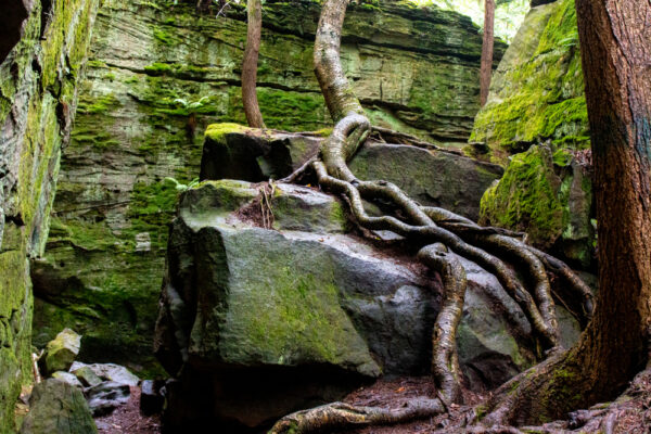 Tree wrapped around boulder at Bilgers Rocks in Grampian PA