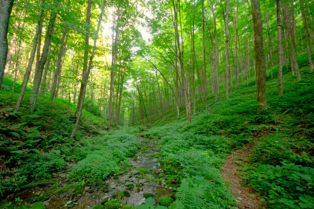 A forest along a trail in Ole Bull State Park in Potter County PA