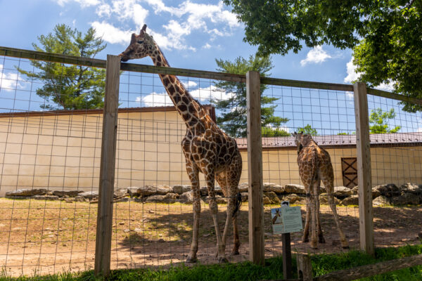 Giraffes at the Elmwood Park Zoo in Montgomery County, PA