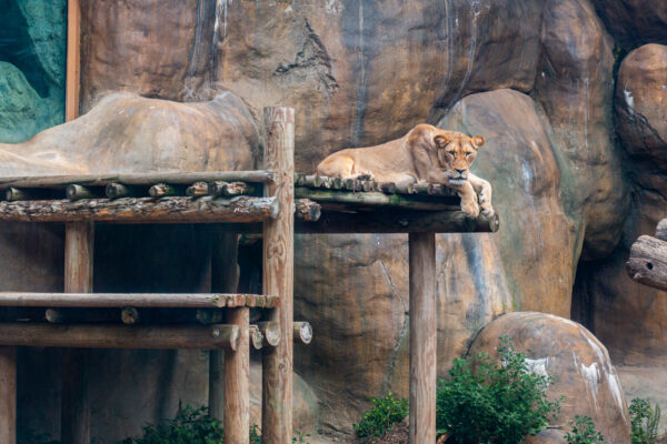A resting lion at the Erie Zoo in Erie, PA