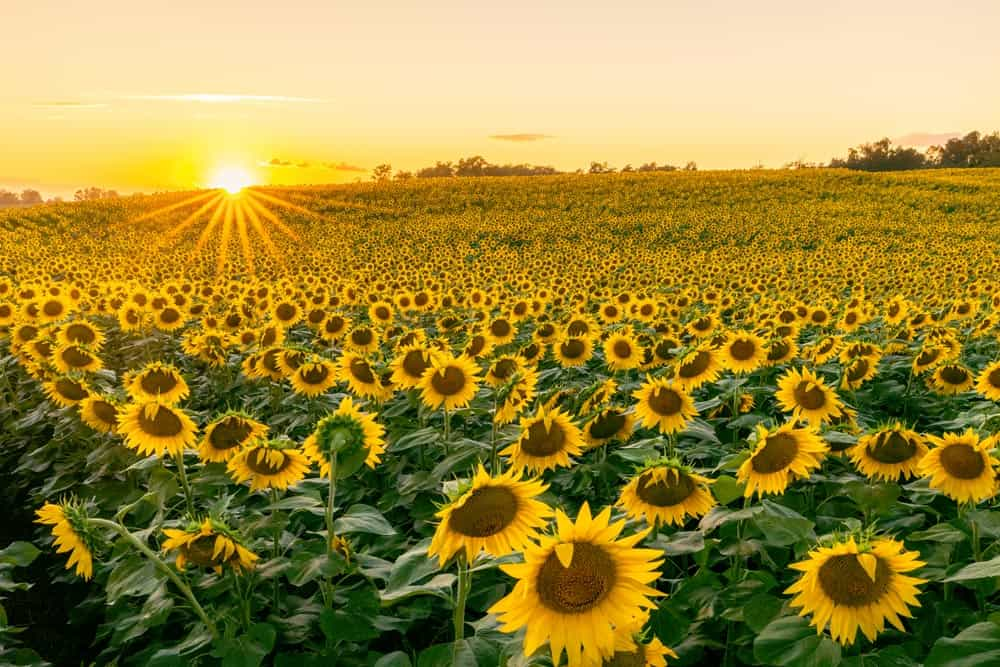 Lesher Poultry Farm Sunflower Field in Chambersburg PA