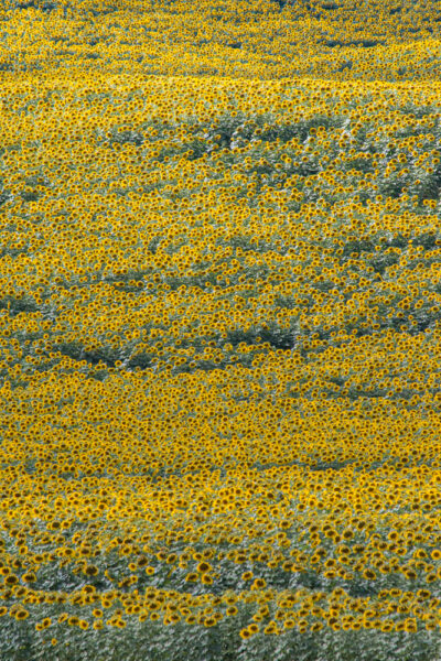 Field of Sunflowers in Pennsylvania's Franklin County