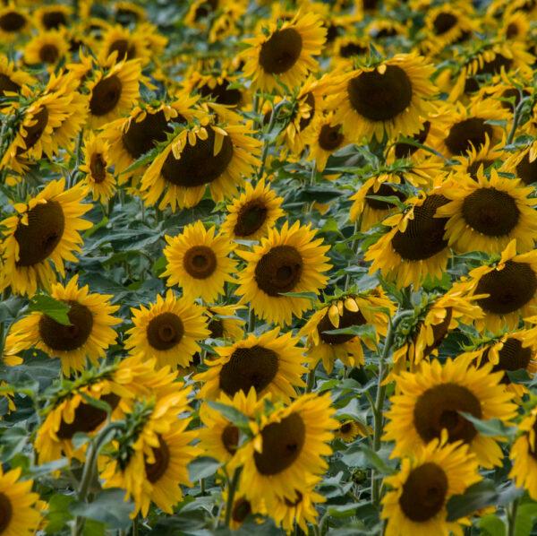 Field of sunflowers near Chambersburg Pennsylvania