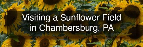 Sunflower Field near Chambersburg PA
