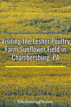 Lesher Poultry Farm Sunflower Field in Chambersburg Pennsylvania