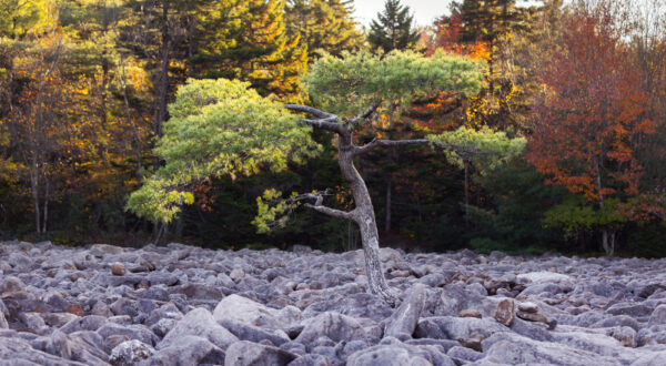Tree in the middle of the Hickory Run Boulder Field in the Poconos