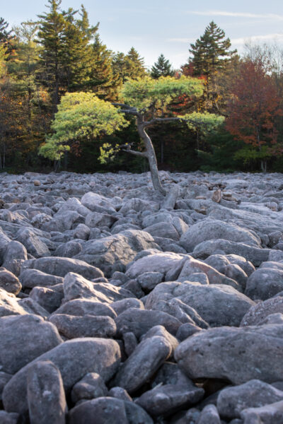 Tree in the boulder field at Hickory Run State Park in Carbon County PA