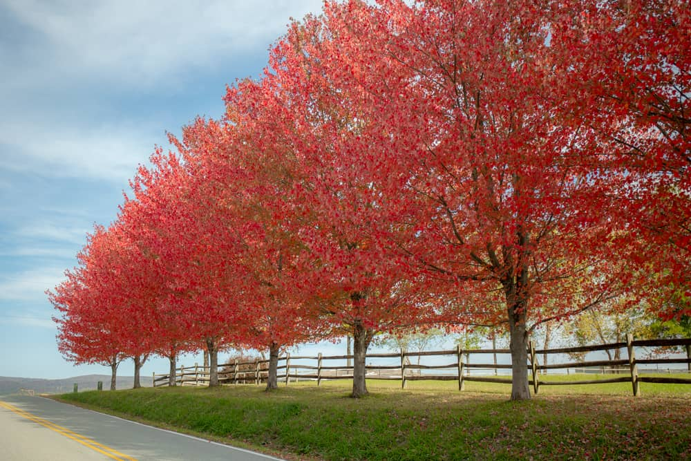Red trees along Kentuck Knob in Fayette County during Fall Foliage in PA