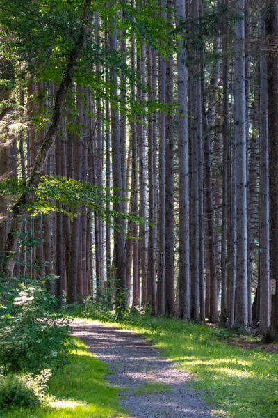 Trees along the Marilla Bridges Trail in Bradford PA