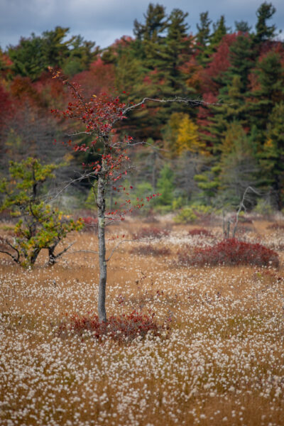 Tree in Spruce Flats Bog in Forbes State Forest in PA