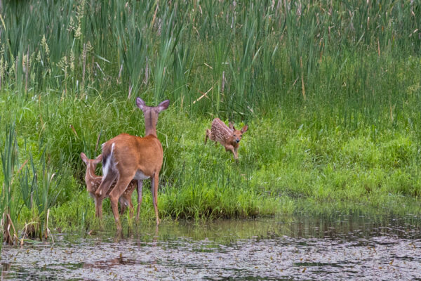 Deer playing along the shores of Lake Arthur in Moraine State Park