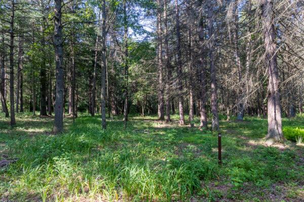 Field of trees in Buchanan State Forest in Fulton County PA