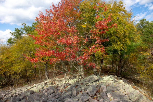 Fall tree along the Standing Stone Trail in Rothrock State Forest